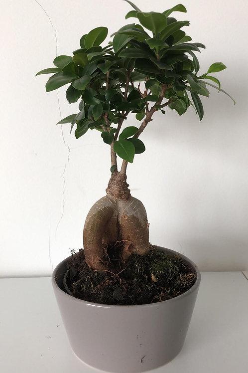 Ficus Ginseng (Kamerbonsai/gordijnvijg) H35