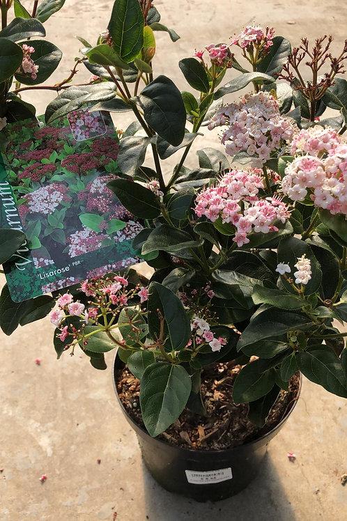 Viburnum tinus 'Lila rose'