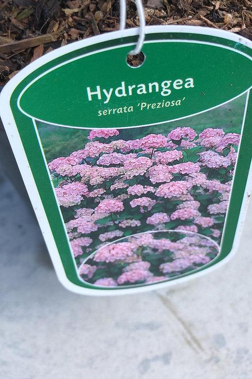 Hydrangea 'Serrata Preziosa'