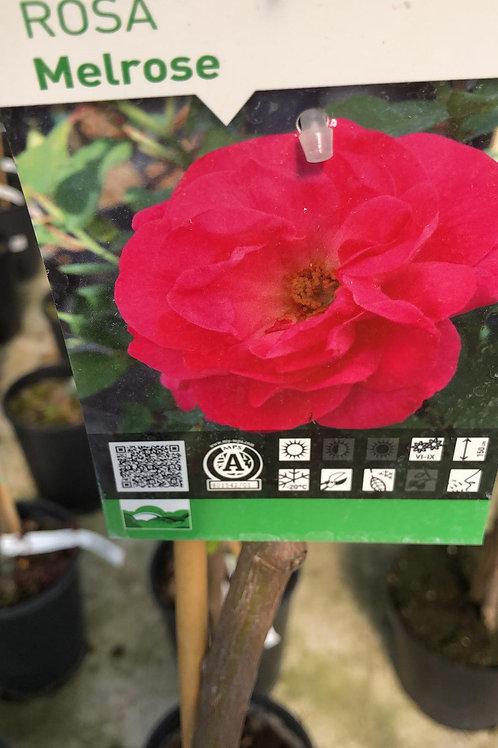 Rosa 'Melrose' - stamroos -H100cm