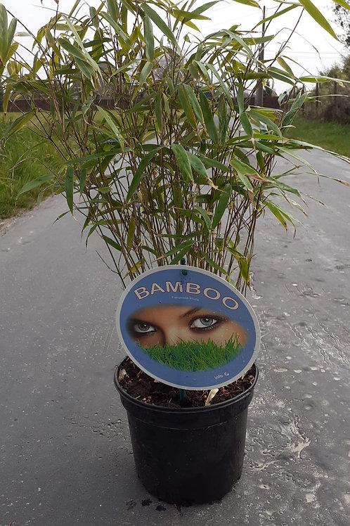 Fargesia rufa - bamboe 50/60