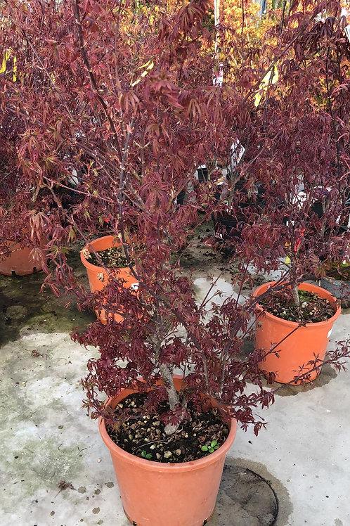 Acer palm. 'Bloodgood' 100/125