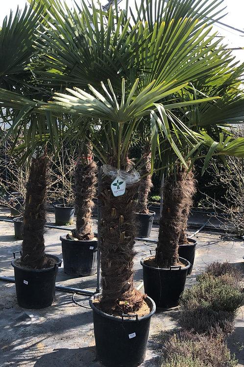 Trachycarpus fortuinen - 2.80m