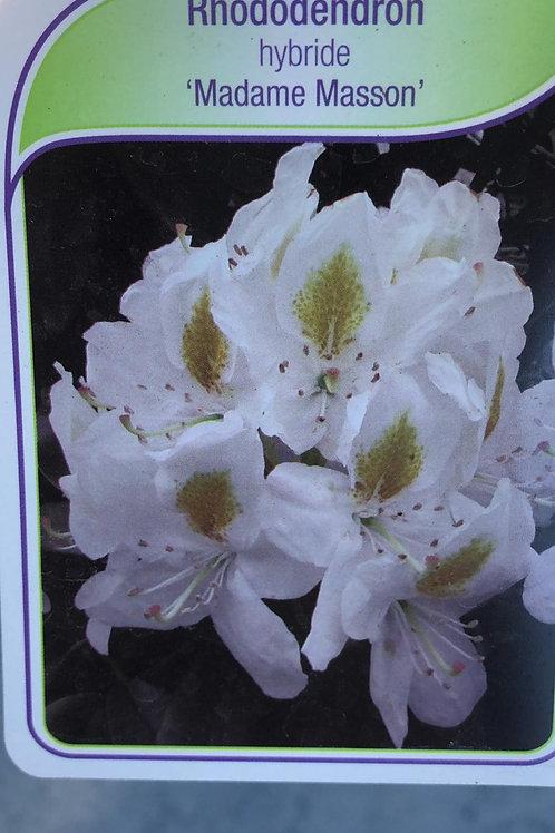 Rhodondendron hybride 'Madame Masson