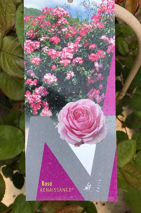 Rosa 'Renaissance' - geurende klimroos