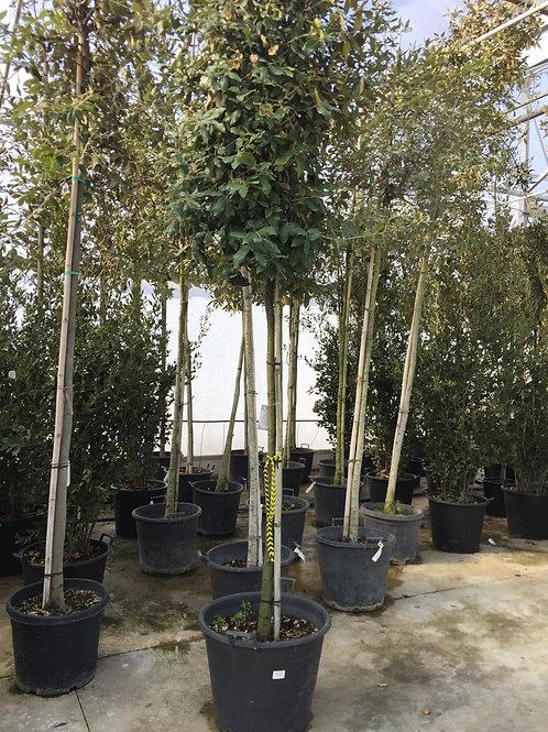 Quercus Ilex (Steeneik)  10/12 (ook verkrijgbaar in andere vormen en afmetingen)
