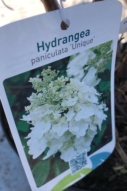 Hydrangea pan. 'Unique'