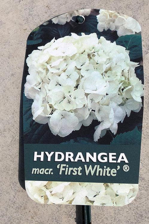 Hydrangea macr. 'First White'