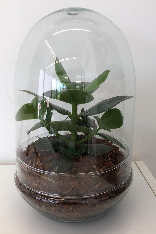 Terrarium met vetplant