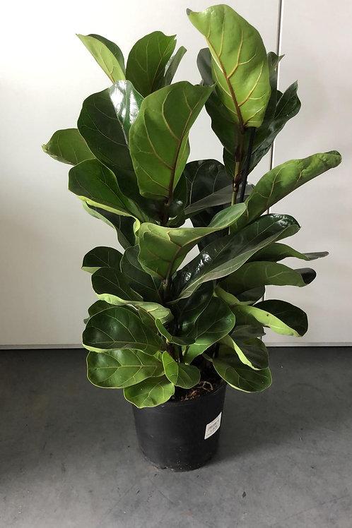 Ficus Lyrata (Tabaksplant of vioolbladplant) H70cm