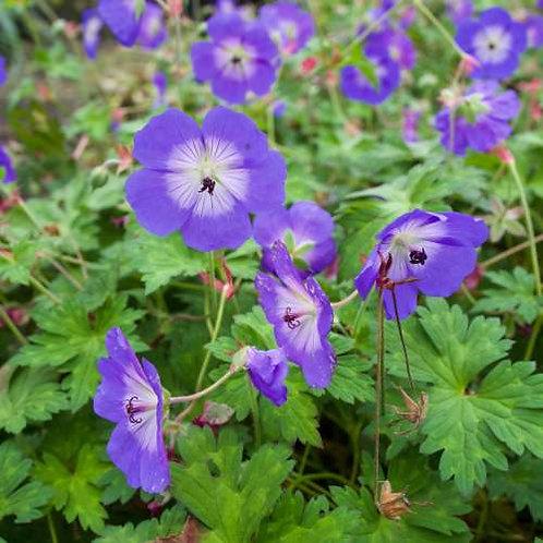 Geranium Rozanne blauw