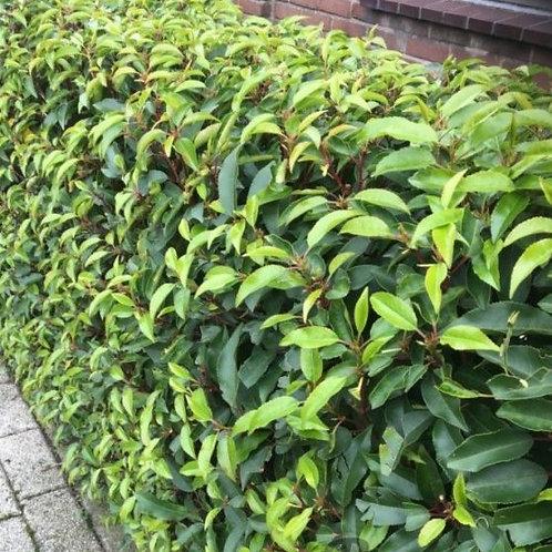 Prunus Lusitanica Angustifolia - kluit - 60/80cm
