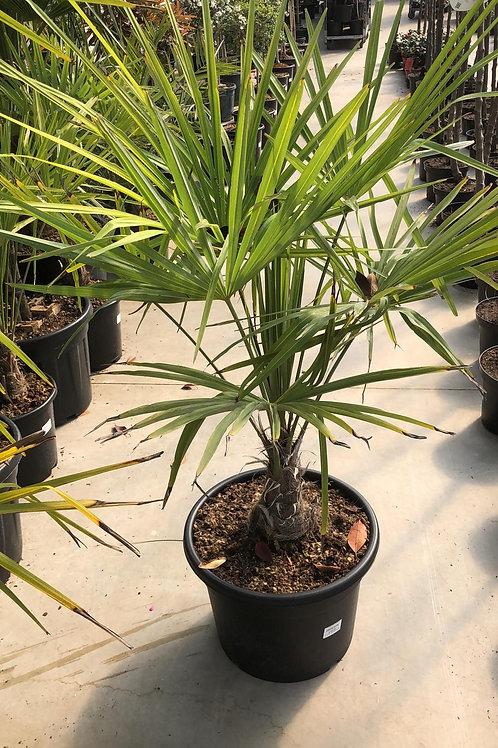 Trachycarpus - 1.20m