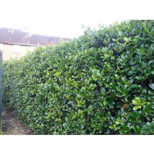 Ilex Aquifolium - kluit - 175/200cm