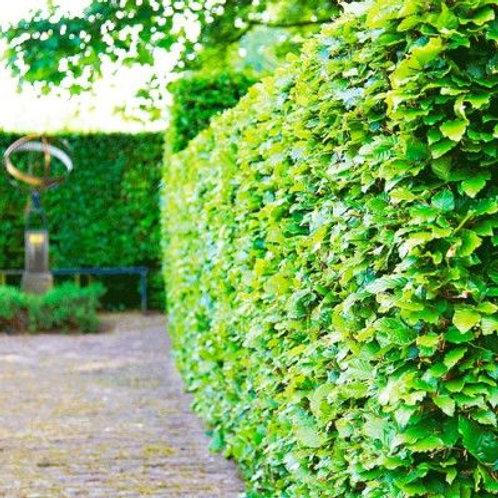 Fagus Sylvatica (groen) - blote wortel - 60/80