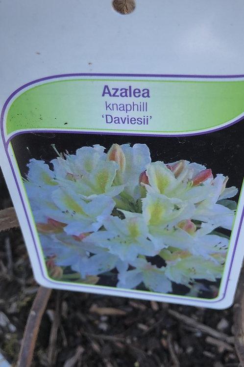 Azalea knaphill 'Daviesii'