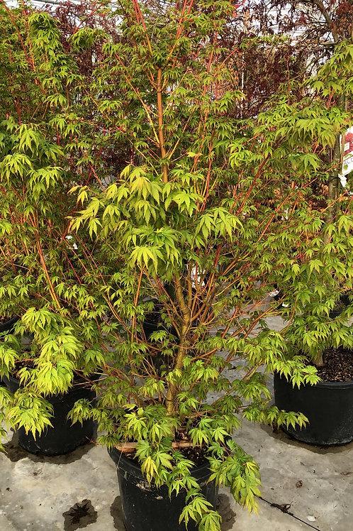 Acer palm. 'Sangokaku' 125/150