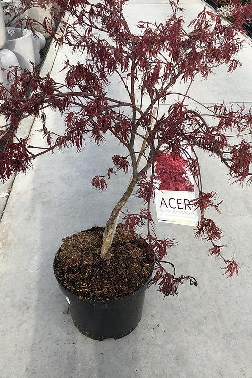 Acer palm. 'Dissectum Garnet' H80