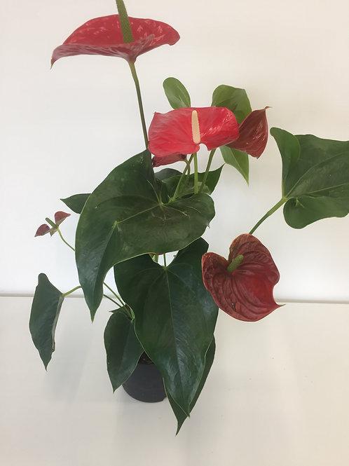 Anthurium - rood H 60cm