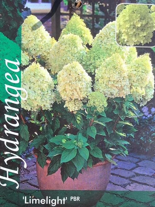 Hydrangea pan. 'Limelight' - 5L