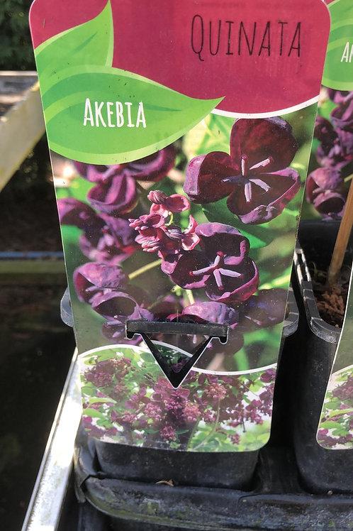 Akebia - Quinata
