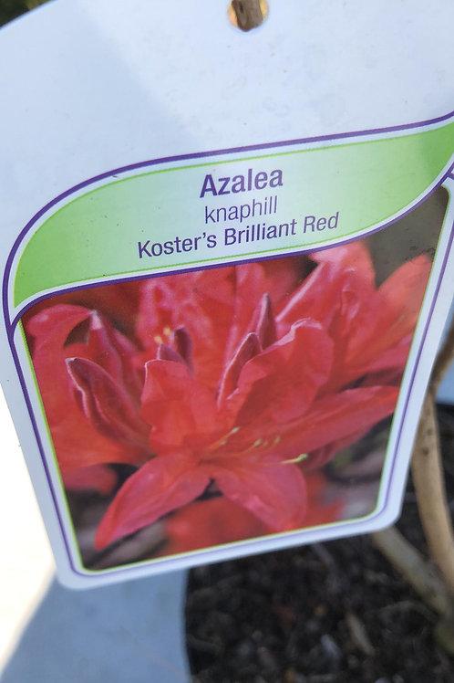 Azalea knaphill 'Koster's Brilliant Red'