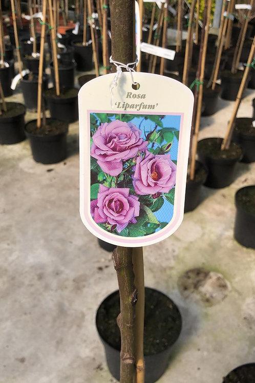 Rosa 'Liparfum' - stamroos -H110cm