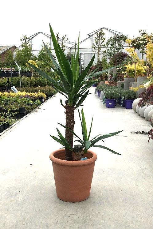 Yucca + terracotta pot