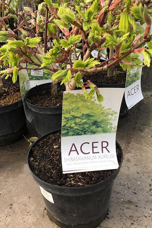 Acer shirasawanum 'Aureum' H30