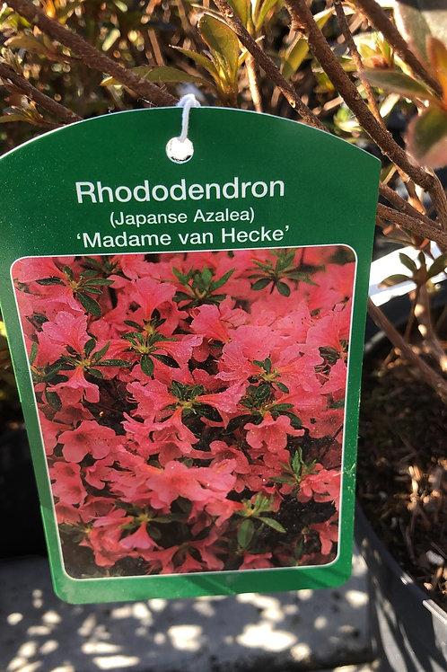 Azalea Japonica -Rhodondendron 'Madame van Hecke'