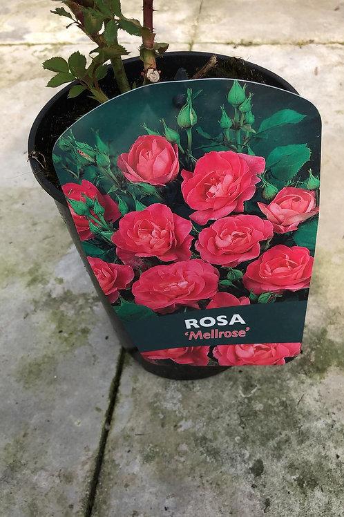 Rosa 'Mellrose'