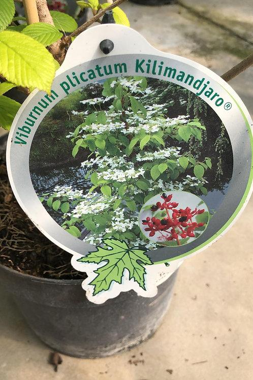 Viburnum plicatum 'Kilimandjaro'
