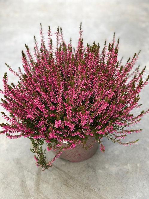 Calluna - roze