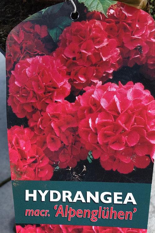Hydrangea macr. 'Alpenglühen'