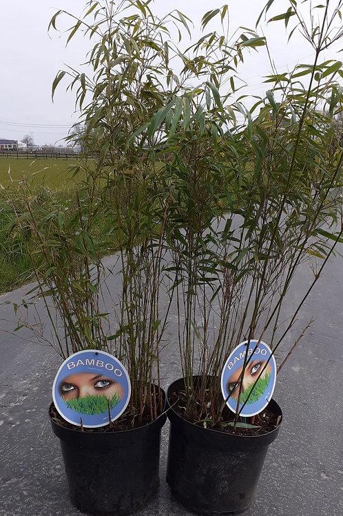Fargesia rufa - bamboe 80/100
