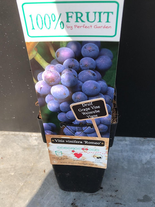 Druif - Vitis vinifera 'Romeo'