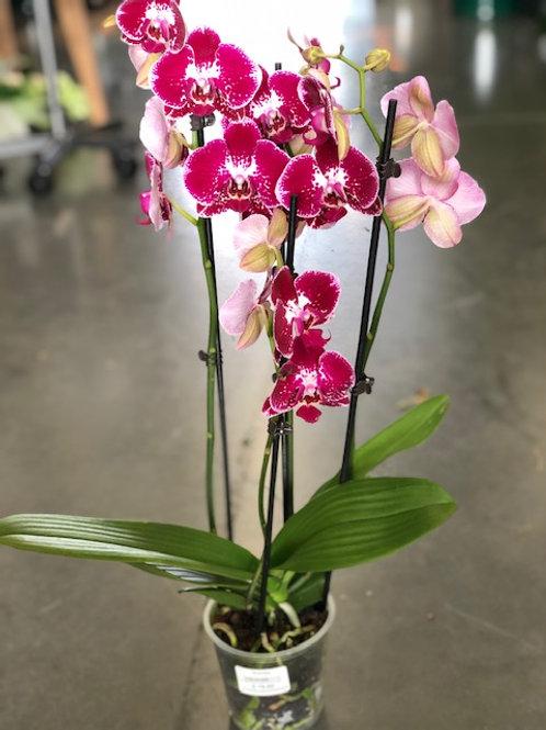 Orchidee gevlekt paars