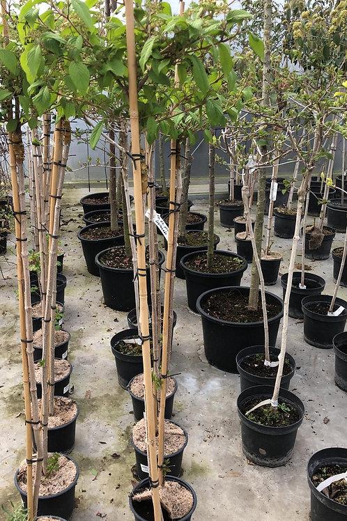 Viburnum plicatum 'Watanabe' H140