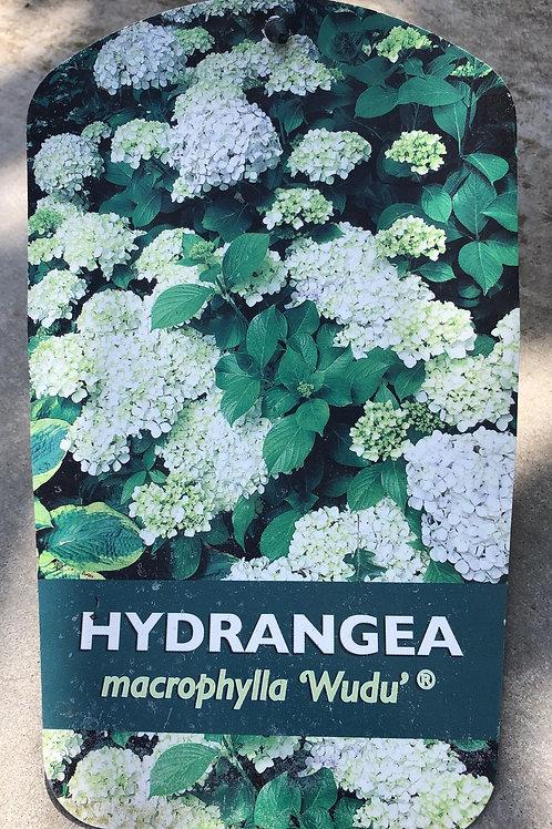 Hydrangea macr. 'Wudu'