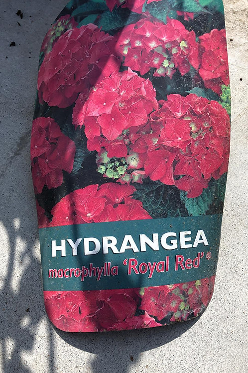 Hydrangea macr. 'Royal Red'