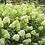 Thumbnail: Hydrangea pan. 'Limelight' - 3L