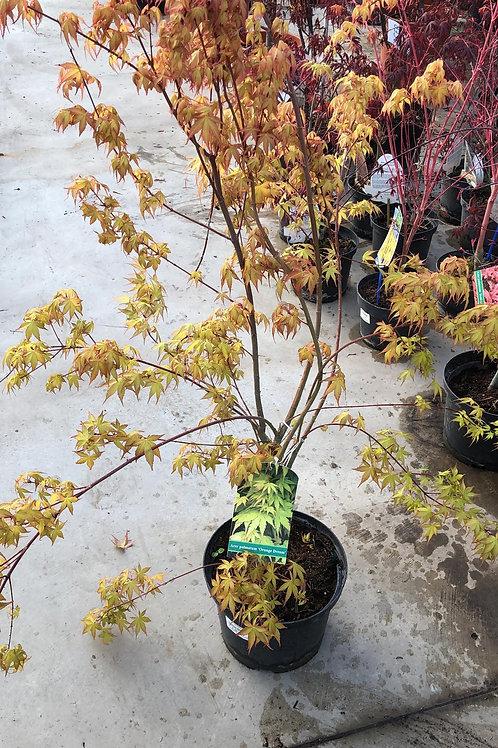 Acer palmatum H100