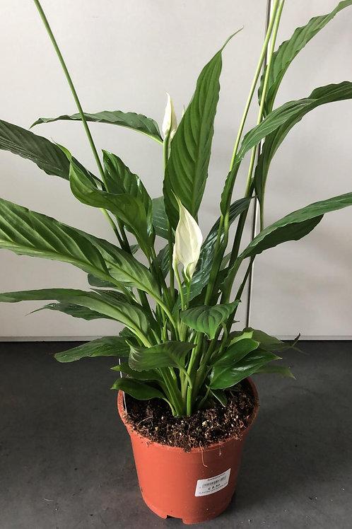 Spathiphyllum (lepelplant) H60