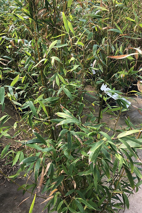 Phyllostachys Aurea - bamboe