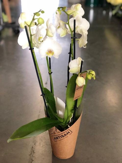 Orchidee wit 4-tak