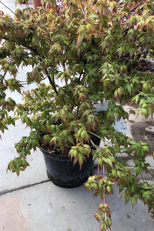 Acer palmatum H45