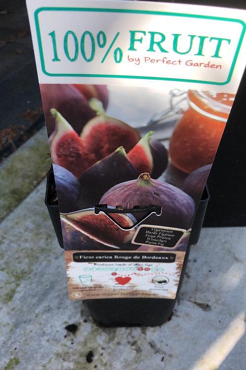 Vijgen - Ficus carica Rouge de Bordeaux