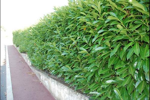 Prunus Laurocerasus 'Caucasica' - kluit - 175/200cm