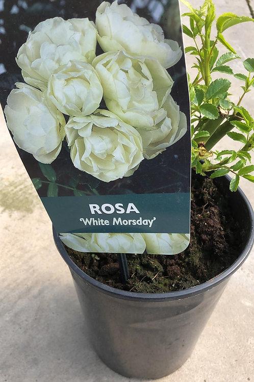 Rosa 'White Morsday'