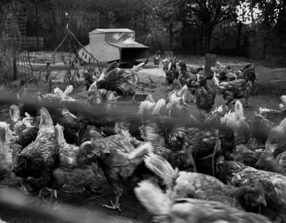 Pecking Order Image 5